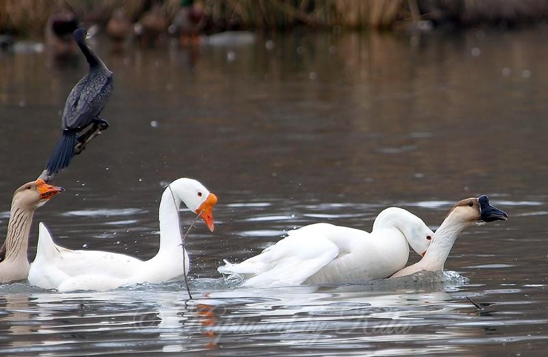 Unusual Goose Breeding Behavior Part 2 of 16