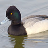 Mr Scaup's Close Up