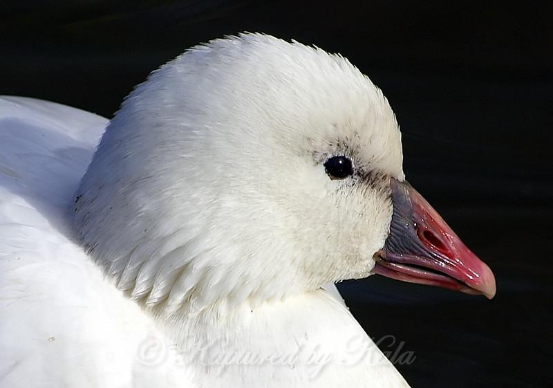Portrait of Ross's Goose