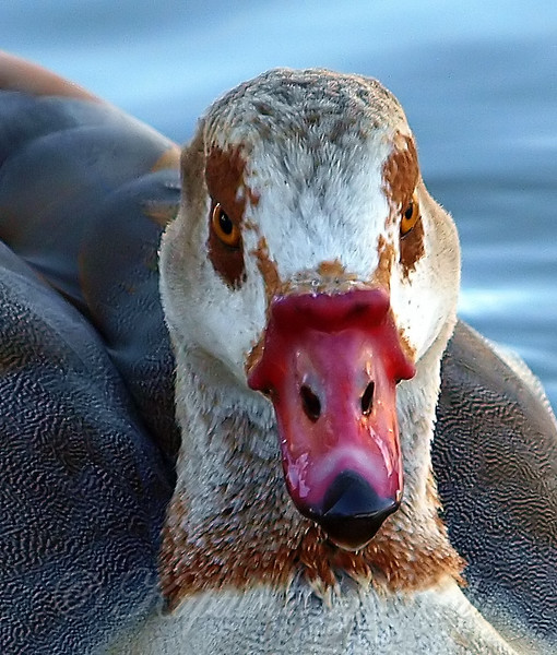 Portrait Of An Egyptian Goose