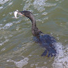 Neotropic Cormorant's Excellent Catch 2