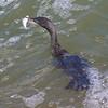 Neotropic Cormorant's Excellent Catch 2