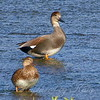 Male And Female Gadwalls