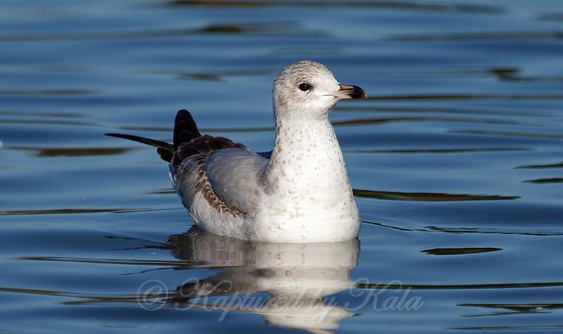 First Winter Ring-billed Gull