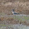 Lesser Yellowlegs View 2