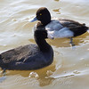 A Male Lesser Scaup Paddling Behind an American Coot