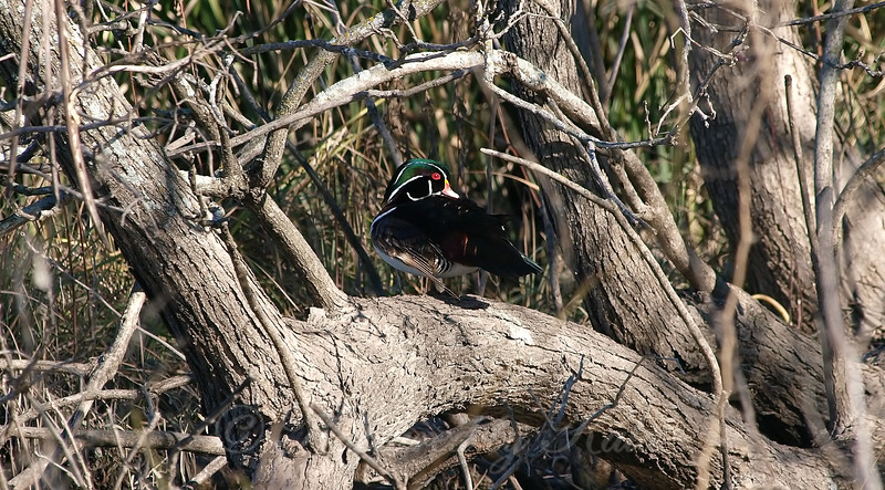 Dark Wood Duck View 2