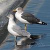 Bigger Than A Ring-billed Gull