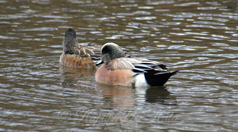 Mr. & Mrs. Wigeon
