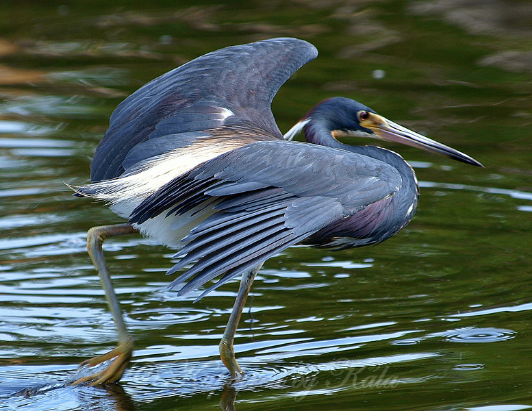 Tricolored Heron FishingTechnique view 1 of 3