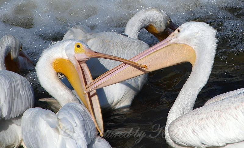 Pelican Wars Part 4