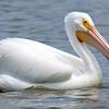 Summer Pelican