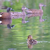 My 1st Blue-winged Teal Duckling