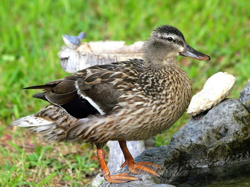 Duck Fluff