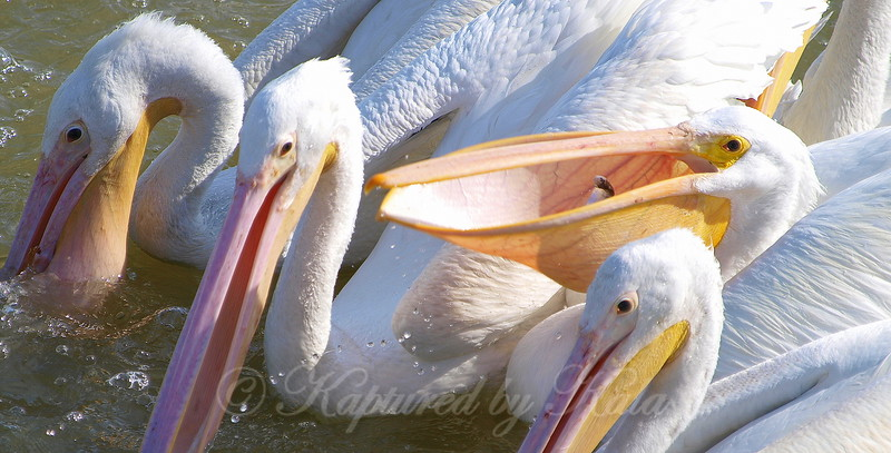 One pelican tosses its catch prior to gulping and three pelicans are still looking for their breakfast.<br /> American White Pelican (Pelecanus erythrorhynchos)