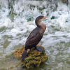 Cormorant With Waterfall