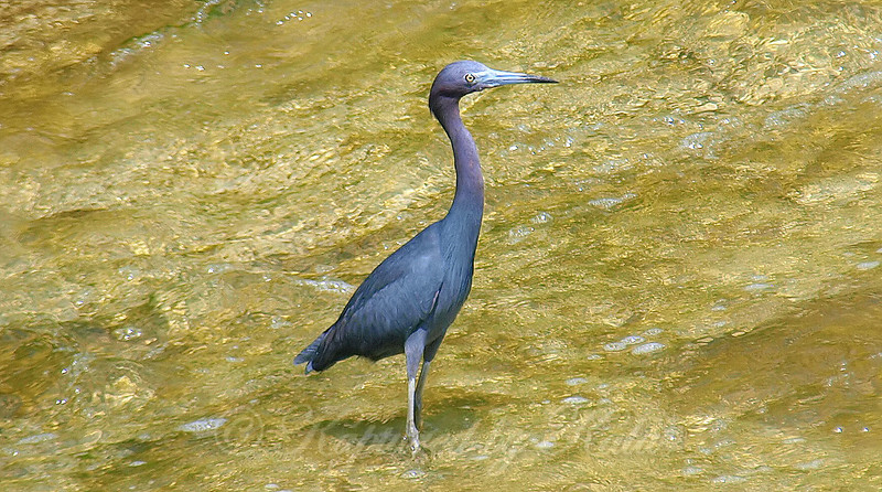 Little Blue Heron Comes A Little Closer