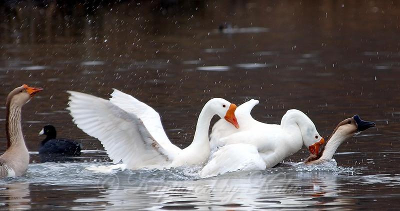 Unusual Goose Breeding Behavior Part 4 of 16