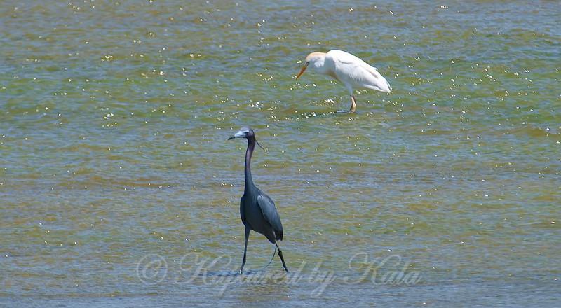 Little Blue Heron & a Cattle Egret