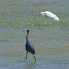 Little Blue Heron & a Cattle Egret