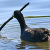 Coot Playing With A Stick