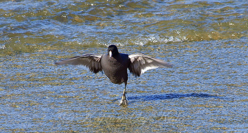 One-legged Coot View 2