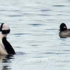 Male Bufflehead Showing Off For His Lady
