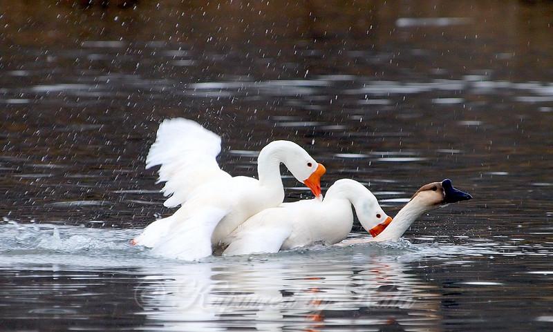 Unusual Goose Breeding Behavior Part 5 of 16