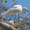 Great Egret Mating Behavior Part 5 of 7