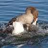 Goose Breeding Season