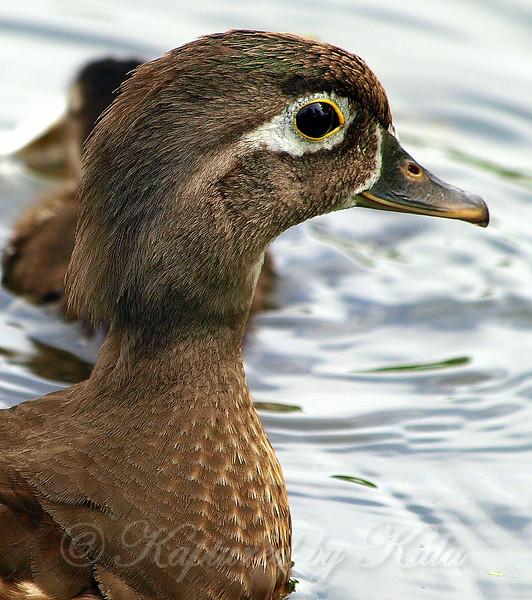 Portrait of a Female Wood Duck