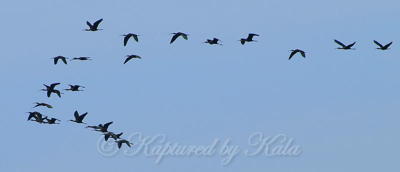 Mystery Flock
