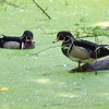 Wood Ducks In A Sea Of Duckweed
