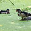 Wood Ducks In A Sea Of Duckweed