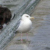 Herring Gull View 1