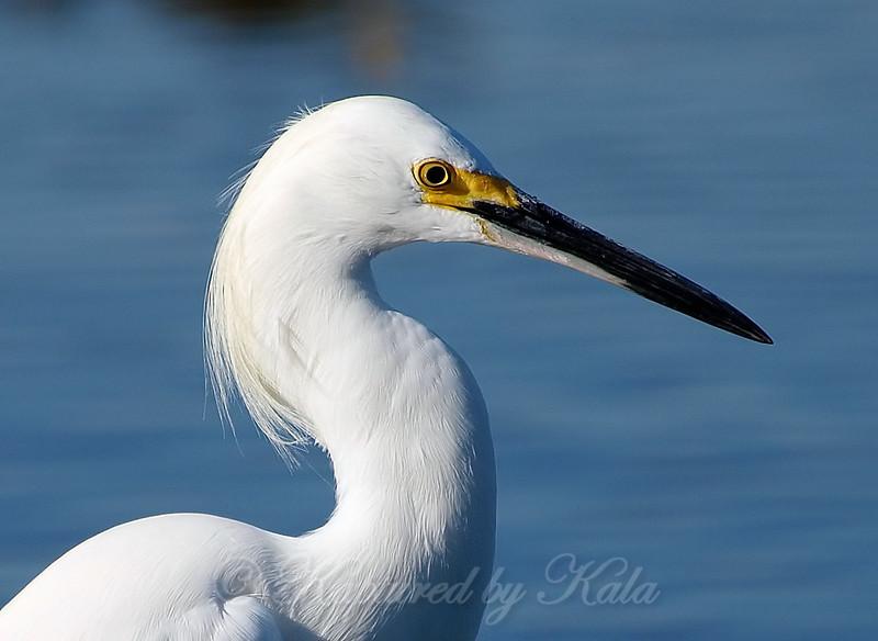 Portrait Of A Snowy Egret