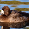 Beautiful Female Lesser Scaup