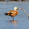 Ruddy Shelduck View 9