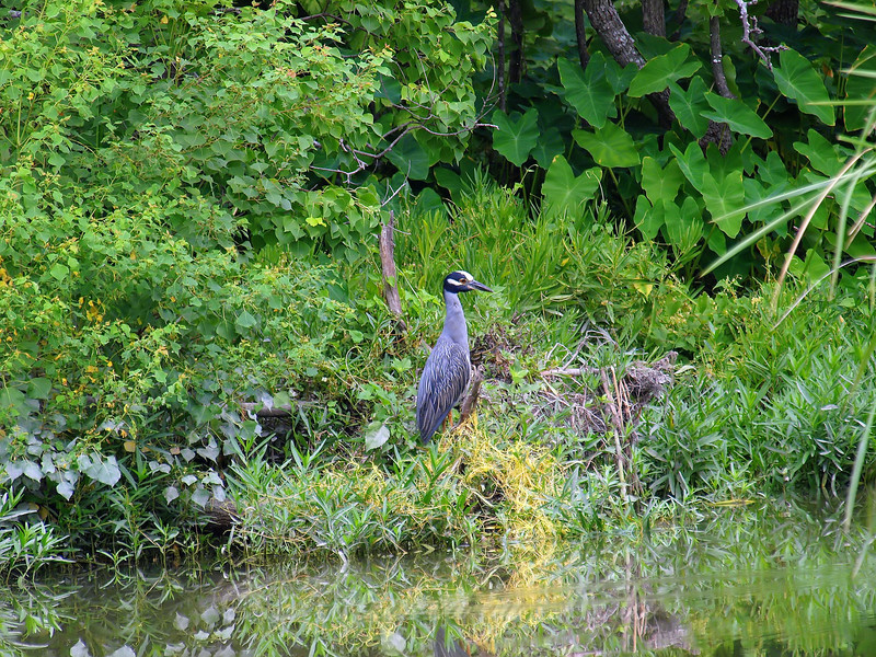 Yellow-crowned Night Heron In Its Natural Environment