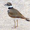 Killdeer Below Me