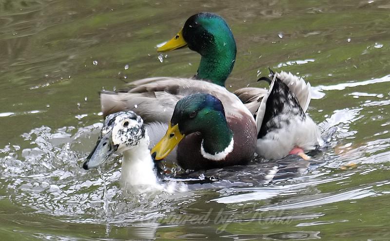 Mallard Mating Behaviors Part 6