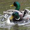 Mallard Mating Behaviors Part 6