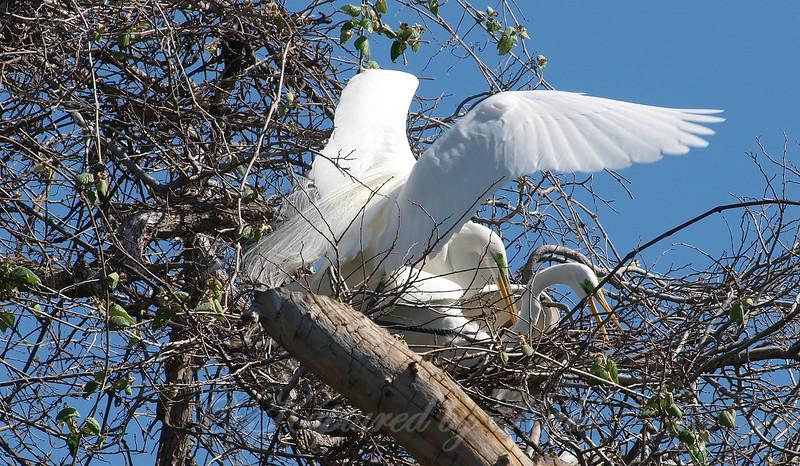Great Egret Mating Behavior Part 2 of 7