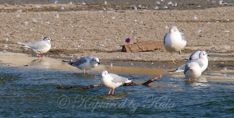 Little Gull View 4