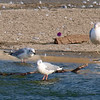 Little Gull View 4