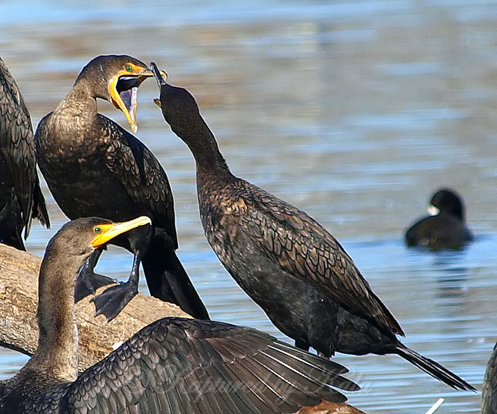 Clash of the Cormorants Part 2