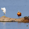 Ruddy Shelduck View 10