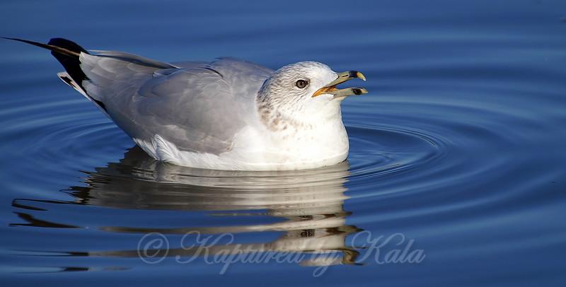 Noisy Gull View 2