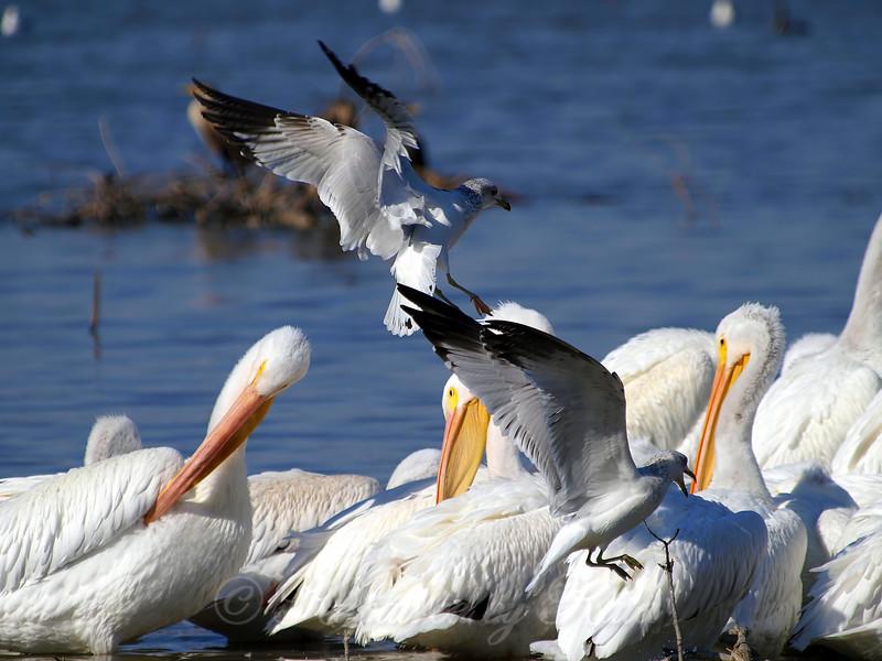 Gulls Attacking Pelicans