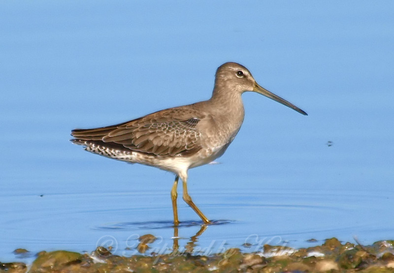 Juvenile Long-billed Dowitcher
